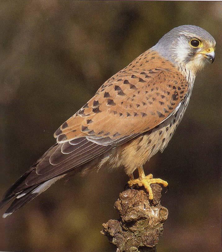Biodiversite de pontault combault seine et marne oiseaux for Liste oiseaux des jardins