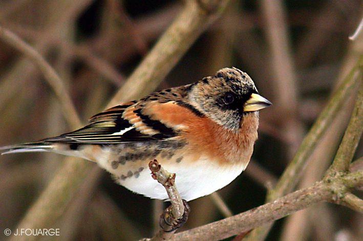 Biodiversite de pontault combault seine et marne oiseaux for Oiseau marron
