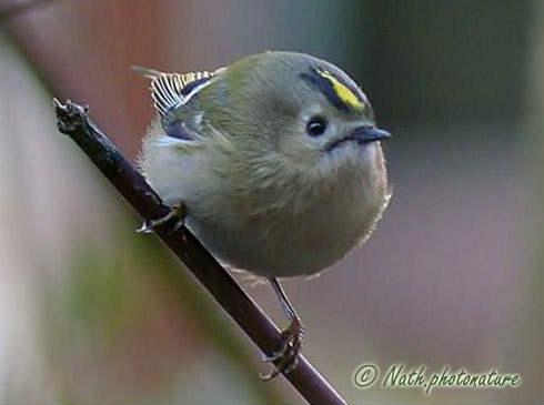 Biodiversite de pontault combault seine et marne oiseaux for Petit oiseau gris